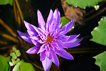 Pianta acquatica sommersa - Nymphaea tropicale 'Midnight' (Ninfee tropicali)