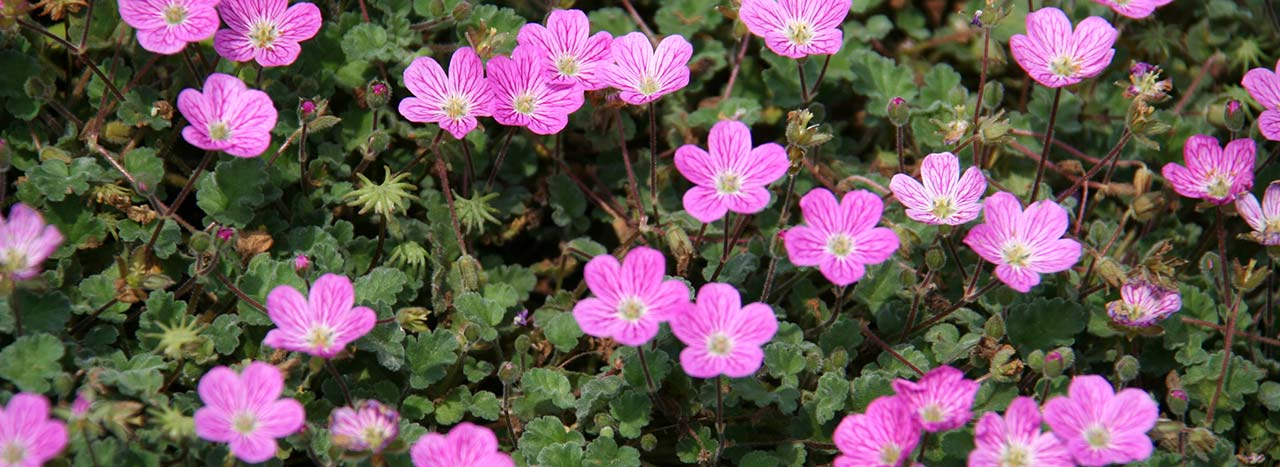 Erodium variabile (Bishop's Form)