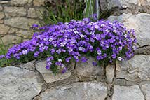 Piante erbacee perenni - Aubrieta x cultorum 'Royal Blue'